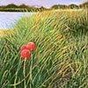 """Island Allium Pastel 30"""" x 15"""""""