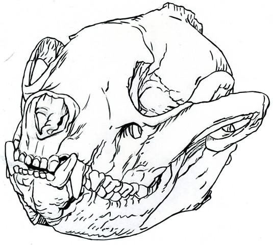 Giant Panda skull, preparatory drawing