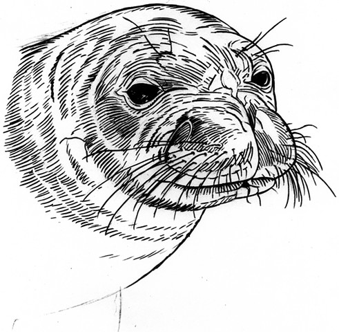 Monk Seal, preparatory drawing