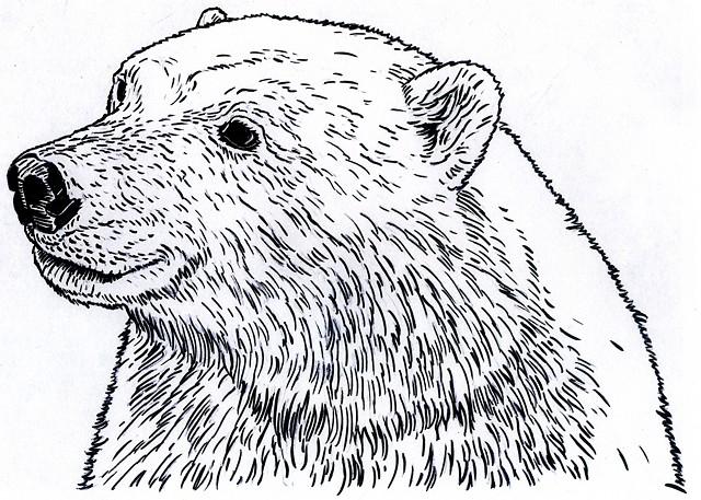 Polar Bear, preparatory drawing