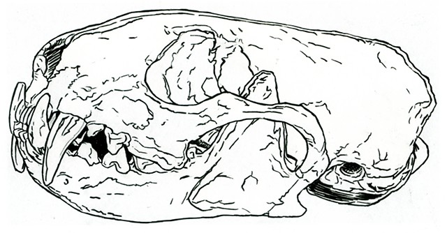 Brown-Footed Ferret skull, preparatory drawing