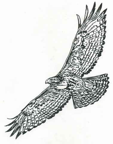 Red-Tailed Hawk (study, in flight)