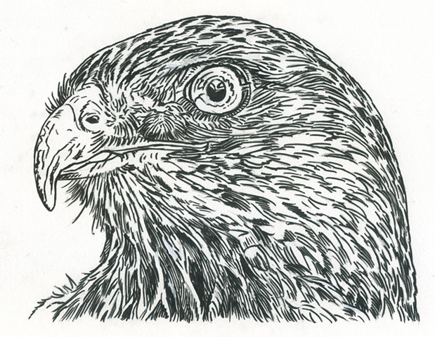 Red-Tailed Hawk, preliminary study