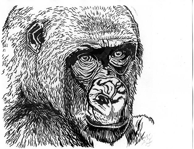 Cross River Gorilla, preparatory drawing