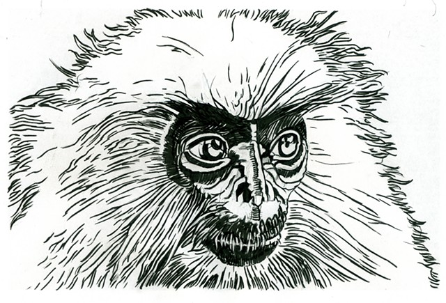 Golden Langur, preparatory drawing