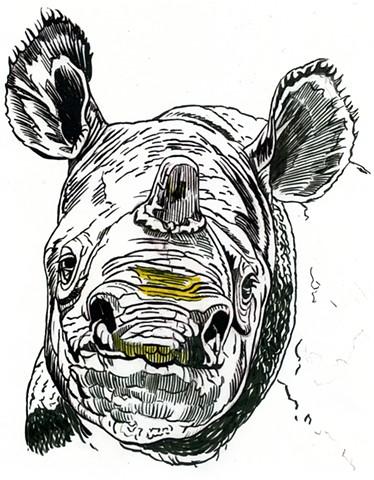 Javan Rhino, preparatory drawing