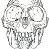 Golden Langur Skull, preparatory drawing