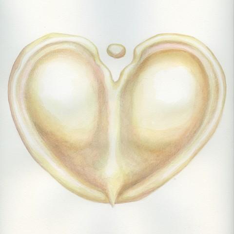 Silphium Seed 2