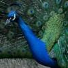 Peacockular