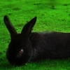 Long Hare