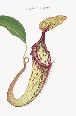 Nepenthes x mixta
