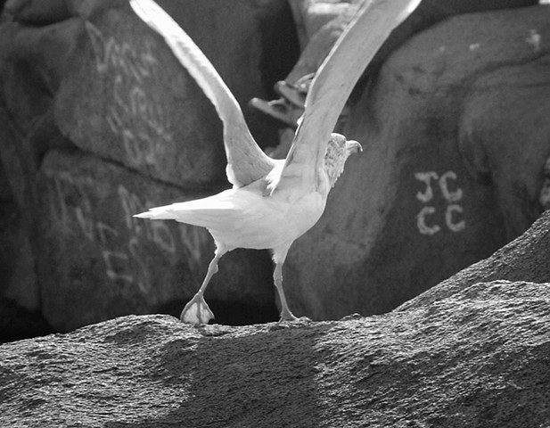 Seagull at Nubble