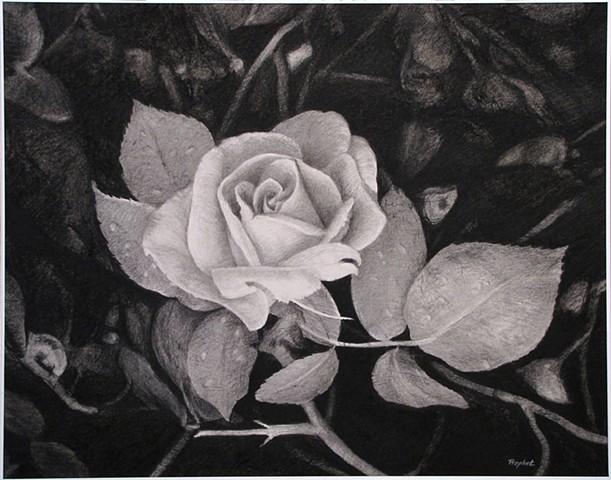 Longwood Rose