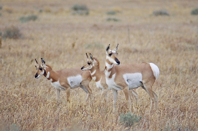 Pronghorn Mom and Fawns