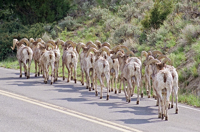 Bighorn Sheep on road in Yellowstone