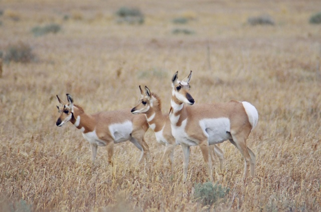 Pronghorn in the spring