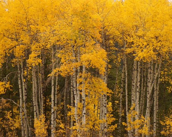 Quaking Aspen, Grand Teton National Park, Fall