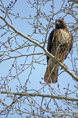 Spring Red Tail Hawk