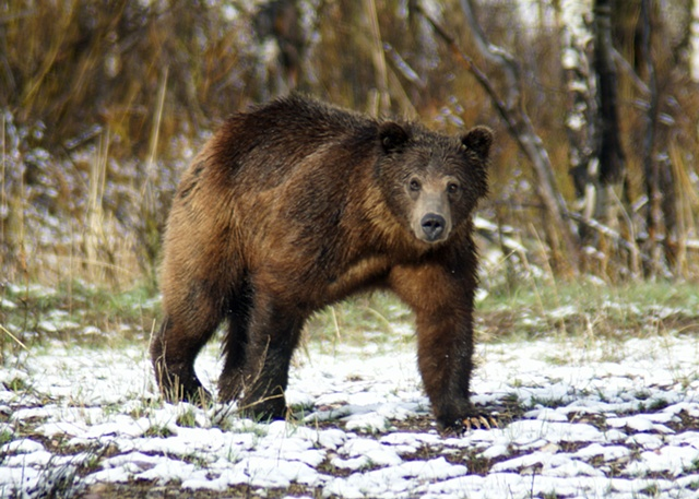 Grizzly spring bear
