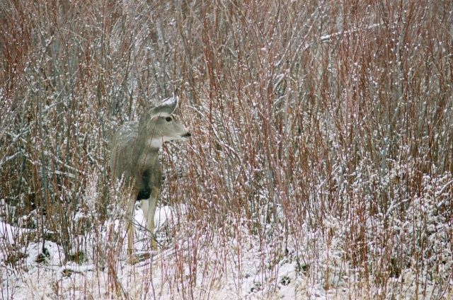 Red Day: Mule Deer