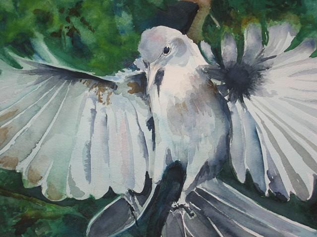 Scrub Jay Imitating a Dove Says . . .