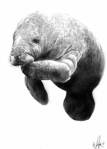 Manatee, Sea creature,ocean,waterdog,beautiful ocean animal,sea