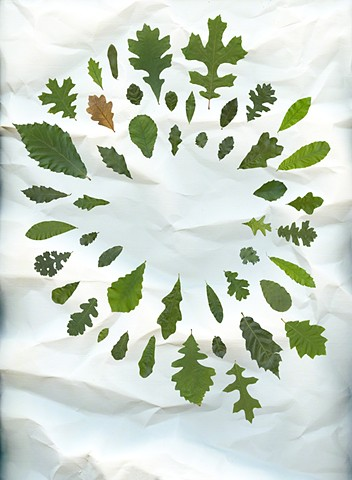 For this image, a leaf from each of the Oaks (Quercus) in the College of Biological Sciences Collection was scanned individually and digitally collaged into a single image. The leaves are roughly life-sized, ranging for 2 to 12 inches in scale.
