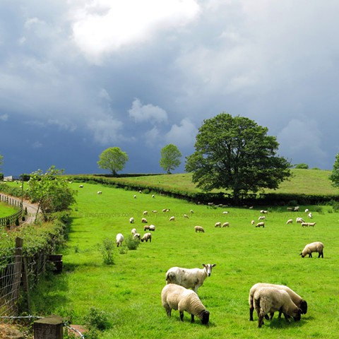 Summer Grazing, N. Ireland