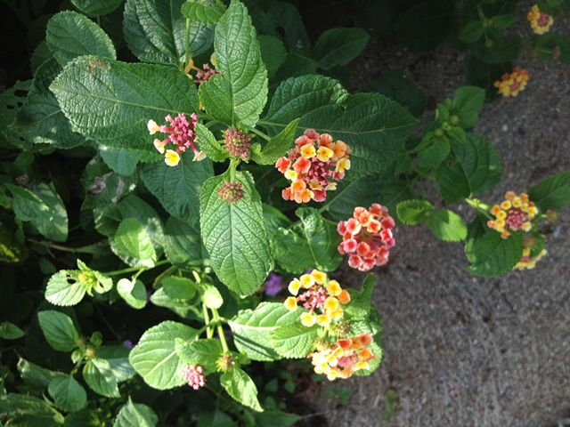 lantana in full bloom at the Artport