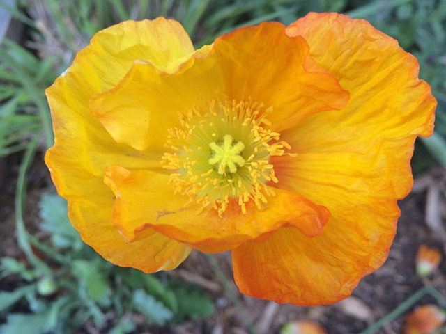 Yellow poppy in container garden Park Slope