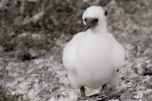 Adolescent Red Footed Boobie
