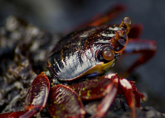 Crab, Galapagos