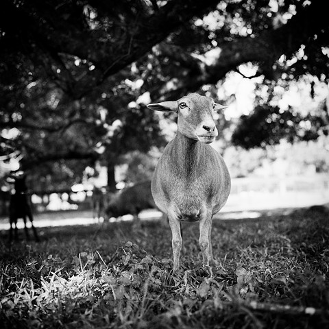 Hannah, Resident of Kindred Spirits Farm Animal Sanctuary