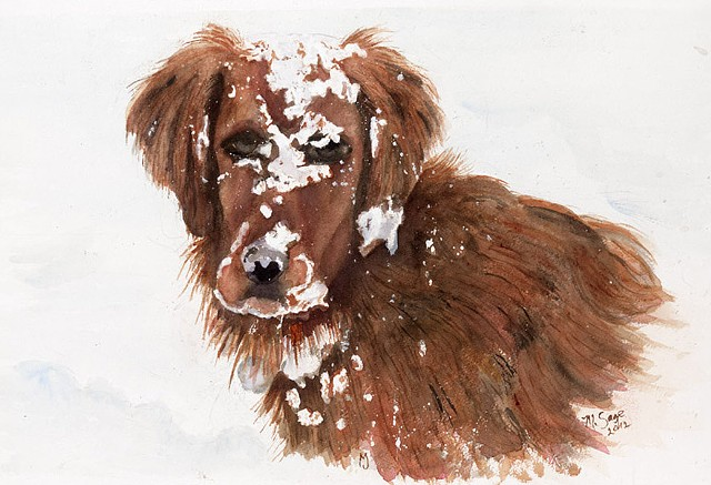 Golden Retriever playing in snow with snow all over face