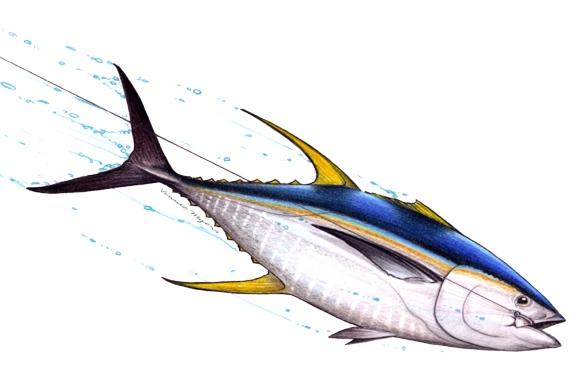 MSSA Tuna