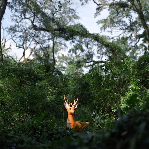 White-Tailed Deer, Apalachicola National Forest