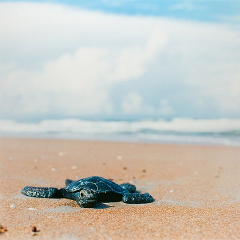 Green Turtle, Canaveral National Seashore