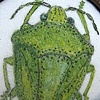 Southern Green Stink Bug Brooch