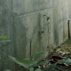Ficus carica Specimen with Retaining Wall and Paretrechina