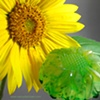 LEMON SPEARMINT SUNFLOWER SOAP
