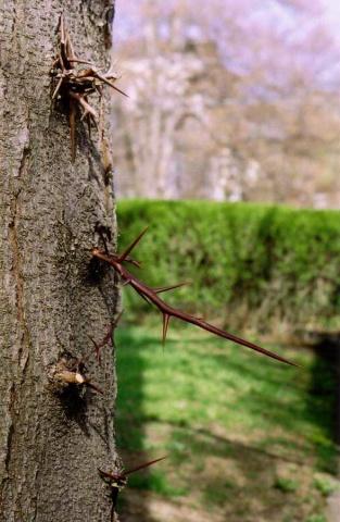 Thorns.  Ithaca, NY.