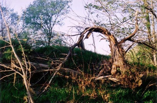 Split tree.  Ludlowville, NY.
