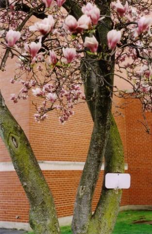 Magnolia.  Ithaca, NY.