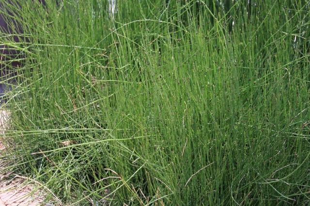 horsetail reed landscape 005