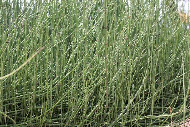 horsetail reed landscape 006
