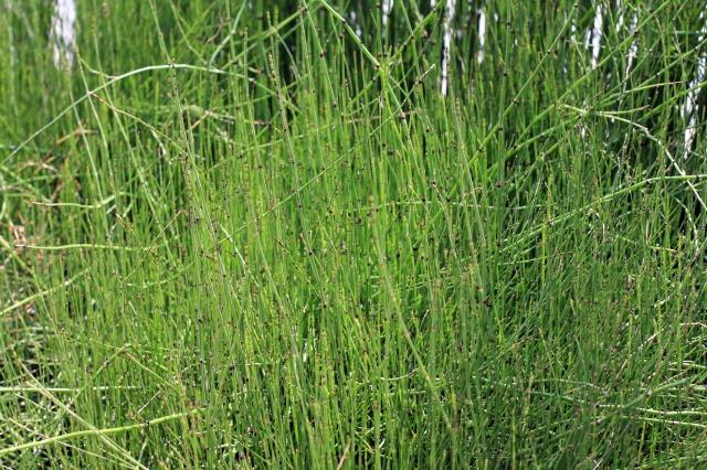 horsetail reed landscape 001