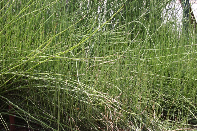 horsetail reed landscape 004