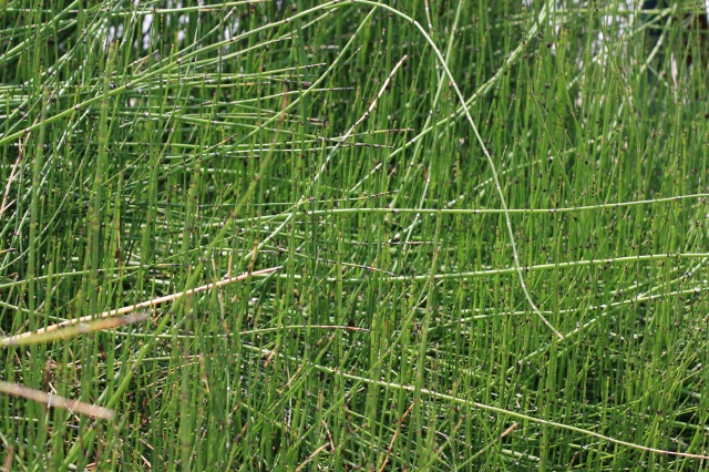 horsetail reed landscape 002