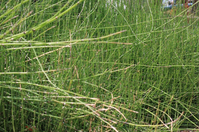 horsetail reed landscape 003