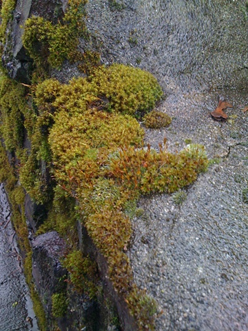 Faerie Moss, View One